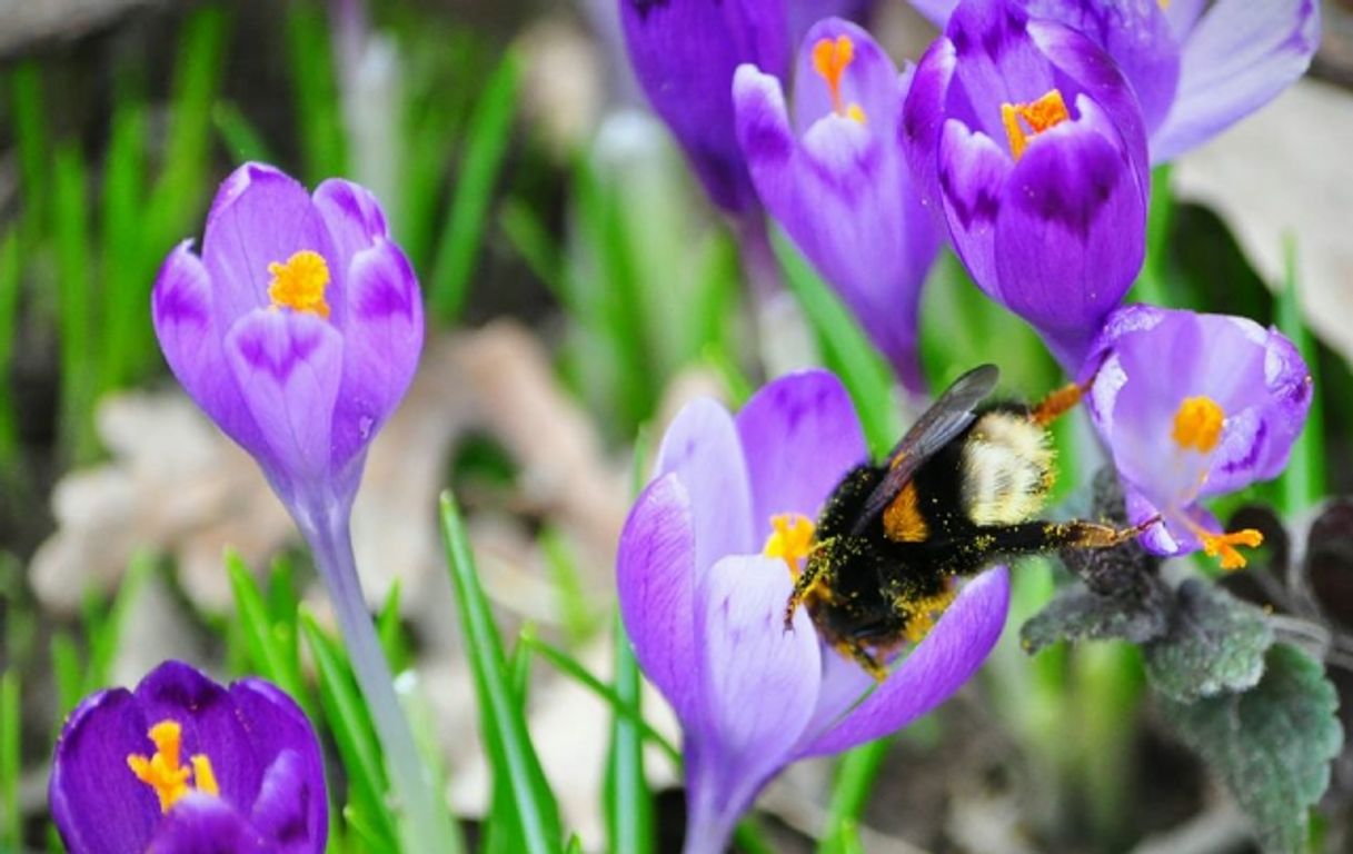 Фіолетова казка на Закарпатті: у дендропарку зацвів шафран – неймовірні фото