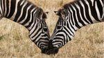 В Кении на митинг согнали ослов и зебр