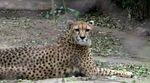 Рідкісний вид гепарда клонують в Аргентині