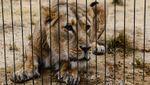 Обнаженный мужчина прыгнул ко львам в Чили: двух хищников застрелили