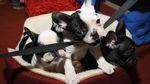 Воры похитили щенков на 20 тысяч долларов