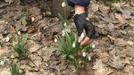 Весняна казка: У Холодному Яру масове цвітіння підсніжників