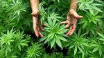 Одна з найбільших країн світу хоче легалізувати марихуану