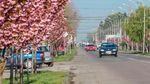 Самая длинная аллея сакур зацвела на Закарпатье: сказочные фото