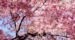 На Закарпатье из Японии привезли 2,5 тысячи деревьев сакуры