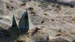 Пауки накрыли поле гигантской паутиной: появилось видео