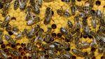Незвична крадіжка: у Великобританії вкрали 24 тисячі бджіл