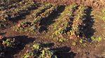 На Черкащині через травневий холод замерз урожай