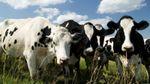 В Хмельницкой области неизвестные отравили сотню коров на ферме