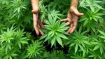 Продажу марихуаны легализовали в еще одном штате США