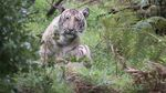 """Фотограф зробив знімок рідкісного """"блідого"""" тигра з близької відстані"""