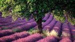 Лавандовые поля Прованса страдают от засухи