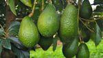 Воры массово воруют экзотический фрукт и продают его через Facebook