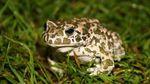 Жаби харчувались динозаврами: вражаючі дані науковців