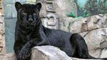 Под Москвой пантера загрызла украинца, – СМИ