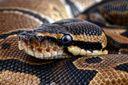 На Закарпатье прохожих напугала огромная экзотическая змея: есть фото