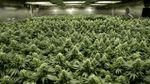 На біржу Nasdaq виставлять акції компанії, яка вирощує марихуану