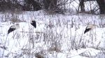 Як на Тернопільщині рятують сотню лелек, які гинуть від негоди