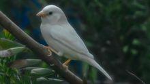 В Австралії знайшли унікального білого горобця