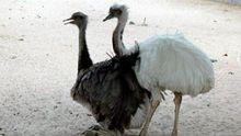 Стало відомо, як поживають страуси Януковича