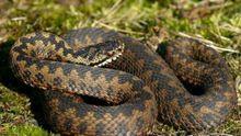 Через різке потепління на Прикарпатті побільшало змій, а грошей на вакцину немає