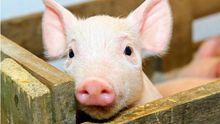 Африканська чума свиней поширилася Україною