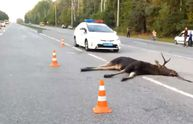 Лось спричинив аварію на Вінничині