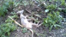 """На Буковині селяни впіймали невідому істоту, переконують — """"чупакабра"""""""