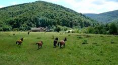 Як легендарна порода гуцульського коня підкорила Карпати