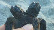 Двоголову морську черепаху знайшли у США: фото