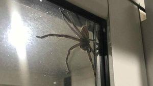Женщина нашла в доме гигантского паука: жуткие фото