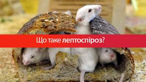 Лептоспироз в Украине: симптомы болезни