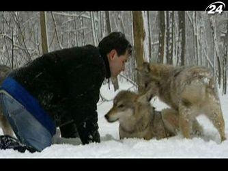 Как приручить хищника: история о том, как человек сживается с волками
