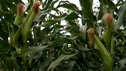 Українські аграрії удосконалюють роботу вирощуючи гібриди кукурудзи