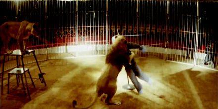 Мужчина выжил, побывав в пастях разъяренных львов