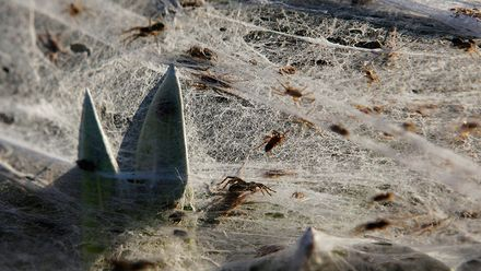 Павуки накрили поле велетенською павутиною: з'явилося відео