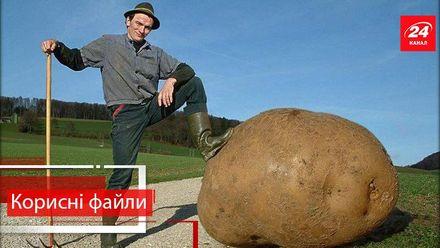 Корисні файли. Як правильно посадити картоплю, щоб отримати гарний врожай