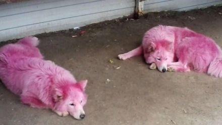 У Росії в лісі знайшли собак із шерстю рожевого кольору