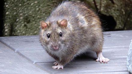 Крыса проехалась в вагоне метро в Нью-Йорке и вызвала панику: курьезное видео