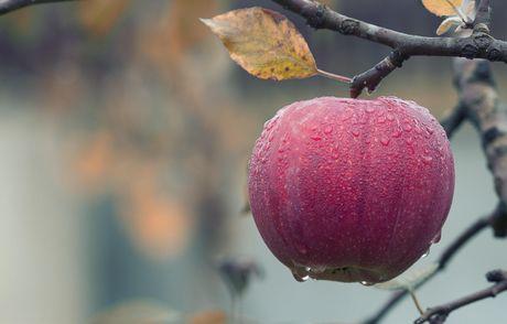 Вчені визначили батьківщину яблук