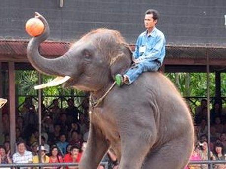 Таїландський слон