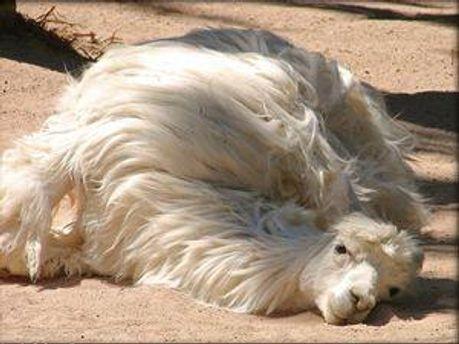 Білий верблюд
