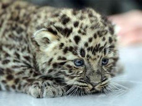 Дитинча амурського леопарда