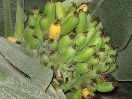 Банани теж модифікували