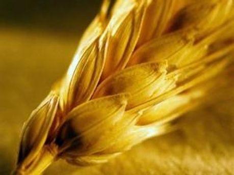 Грузії доведеться ввозити пшеницю з Америки або Канади