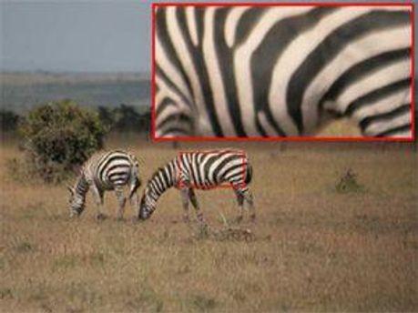 Зебры будут опознаны
