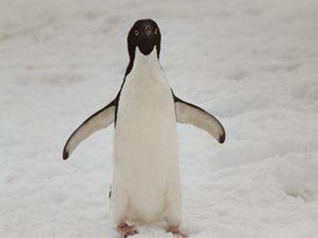 По словам Королевской Украина превращается в пингвина