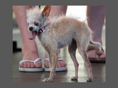 Найпотворніша собака у світі