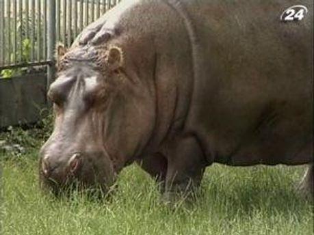 Гіпопотам Бреста