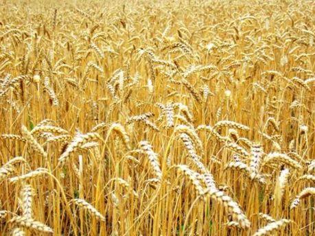 Китайцы могут собрать хороший урожай пшеницы
